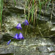 Rundblatt-Glockenblume (Campanula rotundifolia)