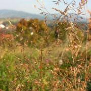 Gewöhnlicher Windhalm (Apera spica-venti)