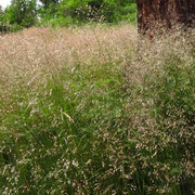 Drahtschmiele (Avenella flexuosa)