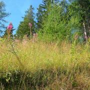Waldschlag-Weidenröschen (Epilobium angustifolium)