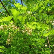 Robinie (Robinia pseudoacacia)