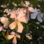 Echtes Seifenkraut (Saponaria officinalis)