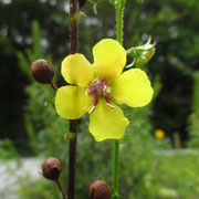 Schaben-Königskerze (Verbascum blattaria)