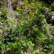 Dürrwurz (Inula conyzae)
