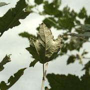 Silber-Pappel (Populus alba)