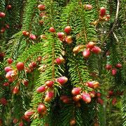 Gewöhnliche Fichte (Picea abies) | weibliche Blüten