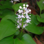 Zweiblatt-Schattenblümchen (Maianthemum bifolium)