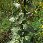 Heide-Königskerze (Verbascum lychnitis)
