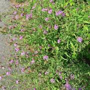 Wiesen-Flockenblume (Centaurea jacea)