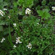 Ruderal-Schaumkraut (Cardamine hirsuta)
