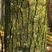 Edelkastanie (Castanea sativa) | Borke