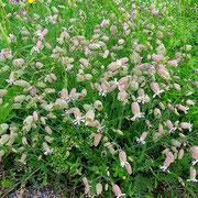 Blasen-Leimkraut (Silene vulgaris)
