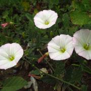 Acker-Winde (Convolvulus arvensis)