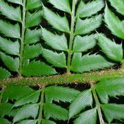 Gewöhnlicher Schildfarn (Polystichum aculeatum)