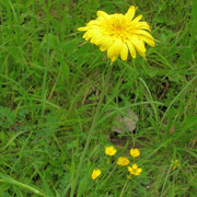 Großer Wiesen-Bocksbart (Tragopogon orientalis)