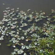 Schwimm-Laichkraut (Potamogeton natans)