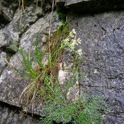 Alpen-Augenwurz (Athamanta cretensis)