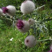 Woll-Kratzdistel (Cirsium eriophorum)