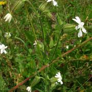 Weiße Lichtnelke (Silene latifolia) | weibliche Pflanze