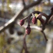 Schwarz-Erle (Alnus glutinosa) | weibliche Blüten