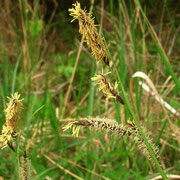 Braun-Segge (Carex nigra)
