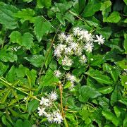 Gewöhnliche Waldrebe (Clematis vitalba)