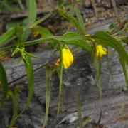 Wald-Wachtelweizen (Melampyrum sylvaticum)