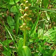 Hohlzunge (Coeloglossum viride)