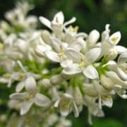 Gewöhnlicher Liguster (Ligustrum vulgare)