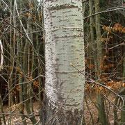 Zitter-Pappel (Populus tremula) | Borke