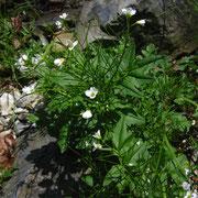 Bitter-Schaumkraut (Cardamine amara)