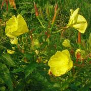 Rotkelch-Nachtkerze (Oenothera glazioviana)