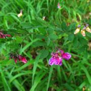 Schwarz-Platterbse (Lathyrus niger)