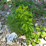 Steif-Wolfsmilch (Euphorbia stricta)