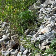 Alpen-Hunds-Braunwurz (Scrophularia juratensis)
