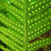 Gewöhnlicher Tüpfelfarn (Polypodium vulgare)