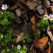 Wald-Sauerklee (Oxalis acetosella)