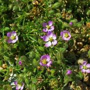 Acker-Schuppenmiere (Spergularia rubra)
