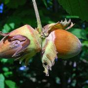 Gewöhnliche Hasel (Corylus avellana) | Früchte