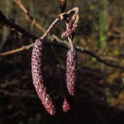 Schwarz-Erle (Alnus glutinosa) | für das kommende jahr angelegte männliche und weibliche Blüten im Herbst