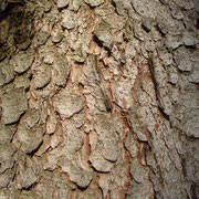 Gewöhnliche Fichte (Picea abies) | Borke