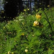 Kleb-Kratzdistel (Cirsium erisithales)