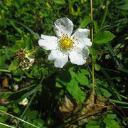 Liege-Rose (Rosa arvensis)