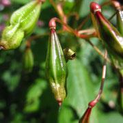 Drüsen-Springkraut (Impatiens glandulifera)