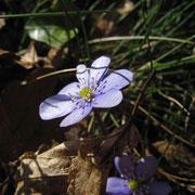 Leberblümchen (Hepatica nobilis)