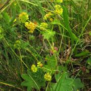 Gelbgrün-Frauenmantel (Alchemilla xanthochlora)
