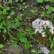 Berg-Baldrian (Valeriana montana)