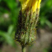 Acker-Gänsedistel (Sonchus arvensis)