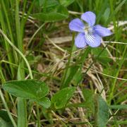 Hunds-Veilchen (Viola canina)