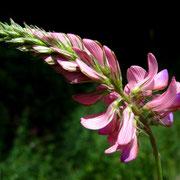 Wiesen-Esparsette (Ononbrychis viciifolia)